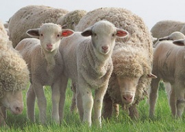 Значение овцеводства