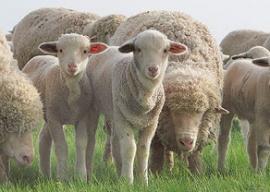Овцы мериносы – обладатели высококачественной шерсти