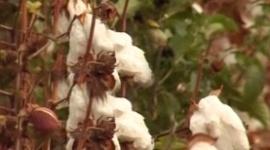 В Астрахани вывели высокоурожайный сорт хлопка